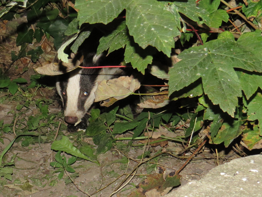 Badger appearing from the bushes