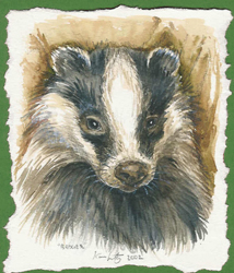 Clwyd Badger Group Gallery
